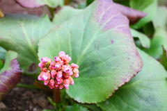 Badan. Bergenia Stock Photography
