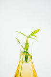 Badanie i rozwój rośliny flancy ekstrakt, lab test Obraz Stock