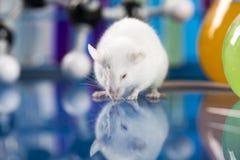 Badanie na mauses w laboratorium fotografia royalty free