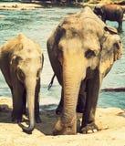 Badar indiska elefanter för familj i floden Ceylon, Pinnawala Arkivfoto