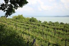 Badascony-Weinbergfeld nahe Balaton ungarn lizenzfreie stockfotos