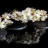 Badekurorthintergrund von Zensteinen, blühender Zweig der Pflaume mit reflektieren sich Lizenzfreie Stockbilder