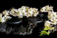 Badekurorthintergrund von Zensteinen, blühender Zweig der Pflaume mit reflektieren sich Stockbild