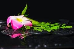Badekurortkonzept der Plumeriablume, grüner Niederlassung Adiantumsfarn mit Stockfotografie