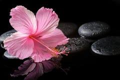 Badekurortkonzept des blühenden rosa Hibiscus auf Zensteinen mit Tropfen Stockfotos