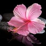 Badekurortkonzept des blühenden rosa Hibiscus auf Zensteinen mit Tropfen Stockbild