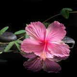 Badekurortkonzept des blühenden rosa Hibiscus und der grünen Ranke Stockfotografie