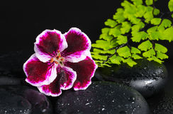 Badekurortkonzept mit der schönen tiefpurpurnen Blume der Pelargonie, grün Stockfoto