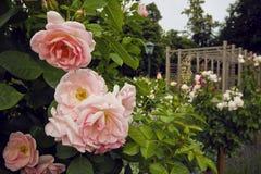 桃红色玫瑰美丽的灌木在庭院里在Baden,奥地利 开花的念珠 免版税库存照片