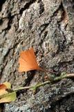 Ginko leaf. Baden Baden, Bavaria. ginko leaf on the old tree bark Royalty Free Stock Photography
