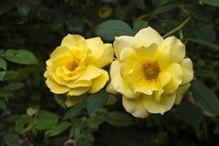 _Baden Baden, Germania di Rose Garden Fotografia Stock
