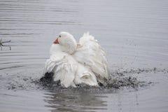 Baden der inländischen Gans, die in einem Teich badet lizenzfreies stockfoto
