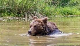 Baden des Braunbären Lizenzfreie Stockfotografie