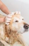 Baden eines Hundgolden retriever Stockfotos