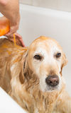Baden eines Hundgolden retriever Lizenzfreie Stockbilder