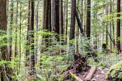 Baden Powell Trail nahe Steinbruch-Felsen in Nord-Vancouver BC Cana lizenzfreies stockfoto