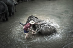 Baden von Elefanten bei Mae Sa Elephant Camp, Mae Rim, Chiang Mai lizenzfreies stockbild