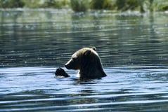 Badende grizzly Stock Afbeeldingen