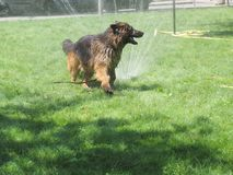 Badende hond Royalty-vrije Stock Fotografie