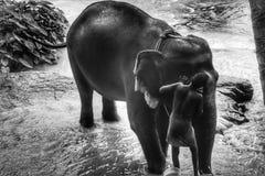 Badender Schwarzweiss-Elefant stockfotos