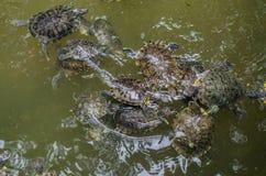 Badet för havssköldpaddor i vattnet parkerar arkivbild