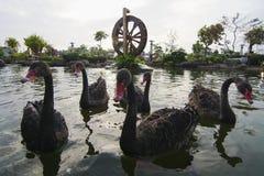 Badflöte för svart svan på vatten eller damm med väderkvarnen som backgrou Arkivfoto