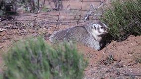 Badger выкапывать вокруг в свободной почве около старой обнести юго-западная пустыня сток-видео