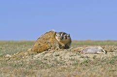badger его prey стоковая фотография rf