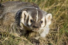 Badger Stock Photography