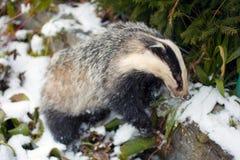 Badger. Stock Photos