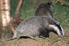 Badger. Living in the night hours Stock Images