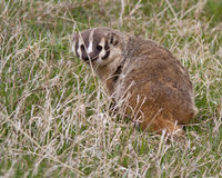 Badger. Early spring in Yellowstone Royalty Free Stock Photography