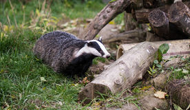 Badger Royalty Free Stock Image
