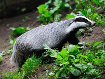Free Badger Royalty Free Stock Images - 29404839