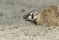 Badger Stock Photo
