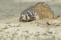 Badger. At his burrow North Dakota Badlands Royalty Free Stock Photos