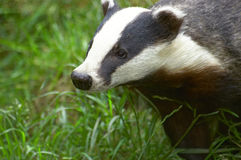 Badger. A Badger head with grass in the background Stock Photo