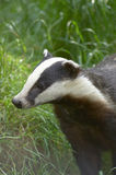 Badger. A Badger head with grass in the background Stock Images