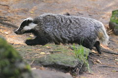Badger Royalty Free Stock Photo