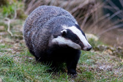 Badger ambling along Stock Photos