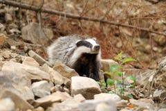 Badger Stock Photos