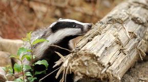 Badger. Beautiful Badger near its burrow in the forest Royalty Free Stock Photos