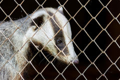 Badger in captivity. Poor animal in a cage behind bars in the nursery. Stock Image