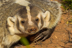 Badger. Close Facial Portrait of Adult American Badger Royalty Free Stock Photography