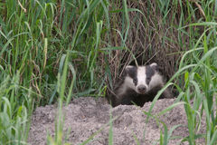 Badger comes out of the hole Stock Image