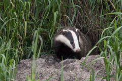 Badger comes out of the hole Royalty Free Stock Photography