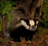 badger coming out of his hiding place after the lethargy Royalty Free Stock Photo