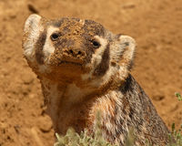 Badger Covered In Dirt Stock Photography