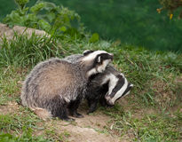 Badger Cubs playing Royalty Free Stock Images