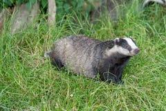 Badger cubs at set Stock Photos